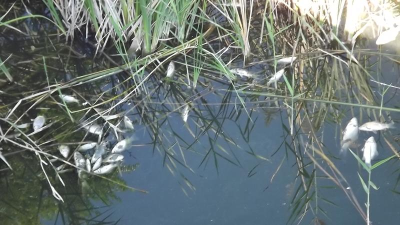 IPV denuncia la mort de peixos al riu Anoia des de fa 15 dies