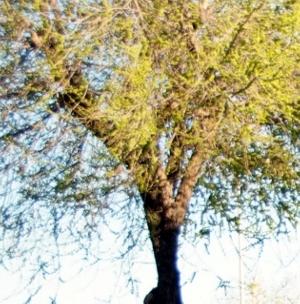 AVÍS – Tractament fitosanitari del pugó, aquesta nit