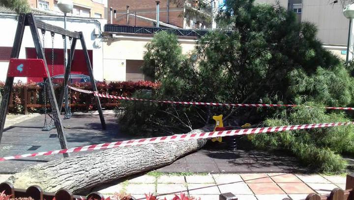 La brigada de jardineria tala els pins de la plaça Berenguer de Montbui perquè existeix perill de caiguda