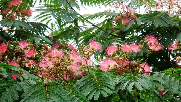 AVÍS | Tractament fitosanitari de les acàcies o arbres de la seda